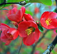 quince (leezie5) Tags: pink coral petals blossoms pollen quince floweringquince leezie5