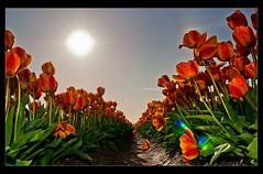 (:: J-C ::) Tags: flower nature tulip tulipfestival