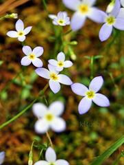 blue carpet (kf4usq) Tags: flower nc durham duke bloom sarahpdukegardens blueit