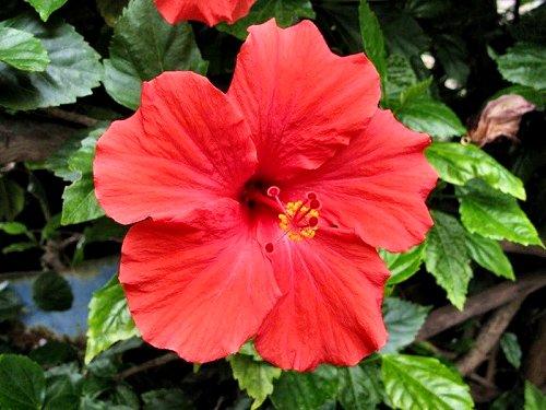 20100413-rq-cruzes-06-Hibiscus rosa-sinensis