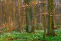 The season of colors (flowerpics09) Tags: light red green nature colors forest licht buchenwald spring dream anemone beech farben frhling buschwindrschen buchen frhlingserwachen frhblher mehrfachbelichtung