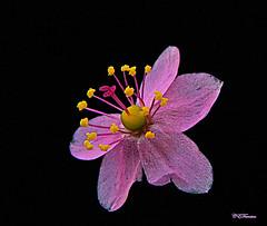 2336_ Very Little Wild Flower (ceferreira) Tags: flower oa fantasticflowers fantasticflower 100commentgroup flowerquest thebestofcengizsqueezeme2groups silveramazingdetail
