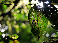 Leafy Green (Mike Cialowicz) Tags: travel trees costa sun sunlight tree green nature leaf nikon costarica dof natural bokeh rica holes vr disease dx d90 1685