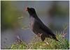 Jungle Myna (Naseer Ommer) Tags: india forest canon kerala munnar junglemyna keralabirds naseerommer canoneos7d acridotherusfuscus