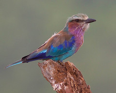Rolieiro-de-peito-lils / Lilac-breasted Roller (Antnio Guerra) Tags: nature birds wow wildlife natureza aves birdwatching krugernationalpark lilacbreastedroller vidaselvagem coth supershot coraciascaudatus rolieirodepeitolils colorphotoaward avianexcellence bestofanimals