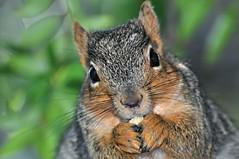 """TGIF (Thank God I'm Furry!)"" (Images by John 'K') Tags: food garden squirrel feeding critter nuts nut johnk d5000 johnkrzesinski randomok"