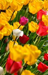 Pink (Dave-Mann) Tags: nottingham pink tulips multicoloured nottinghamshire 18200mm nikond300s