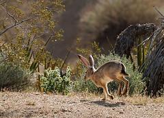 Black-tailed Jackrabbit (Wildphotography - Barry Rowan) Tags: california rabbit nature animal mammal nationalpark spring desert wildlife joshuatree southerncalifornia locations jackrabbit blacktailedjackrabbit lepuscalifornicus