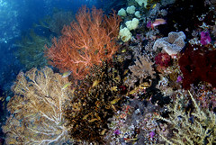 015_adj_DSC6101 beautiful shallow reef in Raja Ampat (edpdiver) Tags: coral indonesia scuba diving reef fins rajaampat soridobay