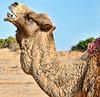 A happy dromedary (Fil.ippo) Tags: happy dromedary morocco marocco filippo dromedario d5000