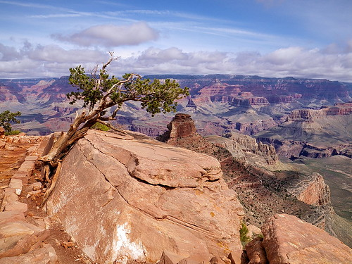 South Kaibab Trail tree - Grand Canyon