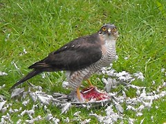 Sparrowhawk (robster333) Tags: sparrowhawk