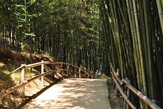 Bambu forest