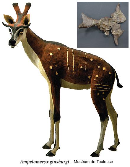 Ampelomeryx ginsburgi