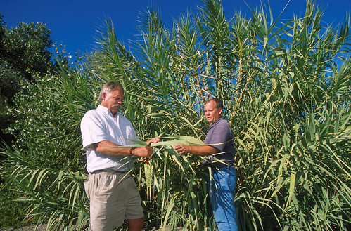 In northern California, technician Greg Ksander (left) and ecologist David Spencer collect a leaf sample from giant reed (Arundo donax).