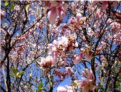 (Denim) Tags: ontario canada film fuji guelph instant magnolias polaroid250
