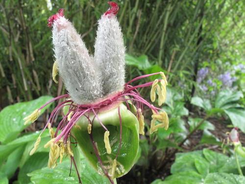 paeonia seed pod