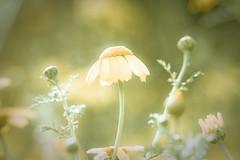 steal this daisy (harold.lloyd) Tags: justsaynokids daisery stealingiswrongmmmkay especiallyifyouremajoringinpaintingandplantopursueacareerinthearts itsjustnotdone