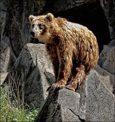 A Bear at Riverbanks Zoo No. 3 (Jmax Jpeg) Tags: sc canon paintshop zoo edited bears columbia paintshoppro topaz riverbanks g11 riverbankszoo columbiasc specanimal topazadjust canong11 jmaxjpeg