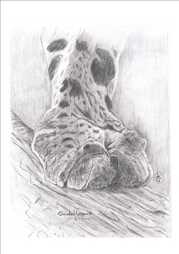 Clouded Leopard Paw