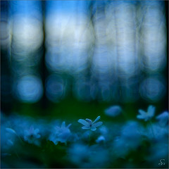 searching for light (Sandra Bartocha) Tags: wood night forest spring twilight darkness nacht anemone dmmerung wald frhling dunkelheit buschwindrschen csandrabartocha wwwbartochaphotographycom