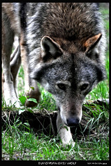 EUROPEAN GREY WOLF (bobspicturebox) Tags: life park new wild forest grey wolf european boar the