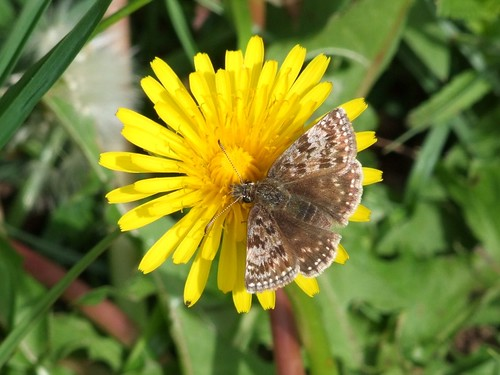 Dingy Skipper (3)