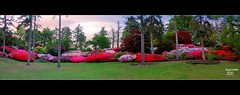 Valley Gardens, Punch Bowl Panorama. (MarkLandonPhotography) Tags: pink flowers red sky panorama colour yellow composite photoshop spring azaleas mask vibrant photobook wideangle foliage velvia bloom practice stitched hdr ablaze windsorgreatpark valleygardens punchbowl alphachannels photomatix layermask tonemapped labouroflove nd110 replacedsky 7shot marklandonphotography