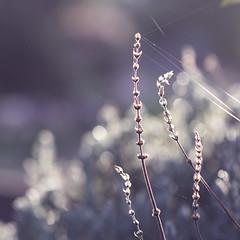 ...still you're holding on... (jewelflyt) Tags: morning light square lyrics purple bokeh lavender brave cropped processed webs leonalewis hpps perfectpurplesaturday