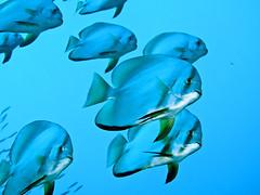 Batfish (blichb) Tags: ocean fish nature meer natur scuba diving fisch batfish philippinen tauchen unterwasser ozean fledermausfisch mywinners canong10 mygearandmepremium mygearandmebronze blichb