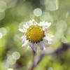 Perfect Daisy (Morphicx) Tags: blur flower dutch droplets drops dof bokeh 100mm dew daisy droplet 5d ilovebokeh bokehwhores