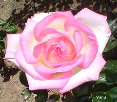ROSA 65 (VRNU) Tags: flores rosas vrnu floresporlapaz giveme5awardthenext5pictures