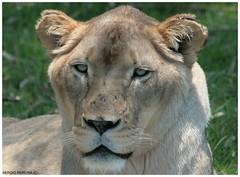 Lion - South Africa (sergio.pereira.gonzalez) Tags: africa animal southafrica lion leon felino animaux sud felin afriquedusud canon400d flickrbigcats sergiopereiragonzalez
