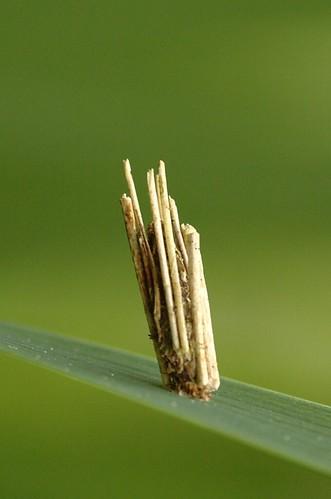 Psyche casta | Gewone zakdrager - Bagworm moth