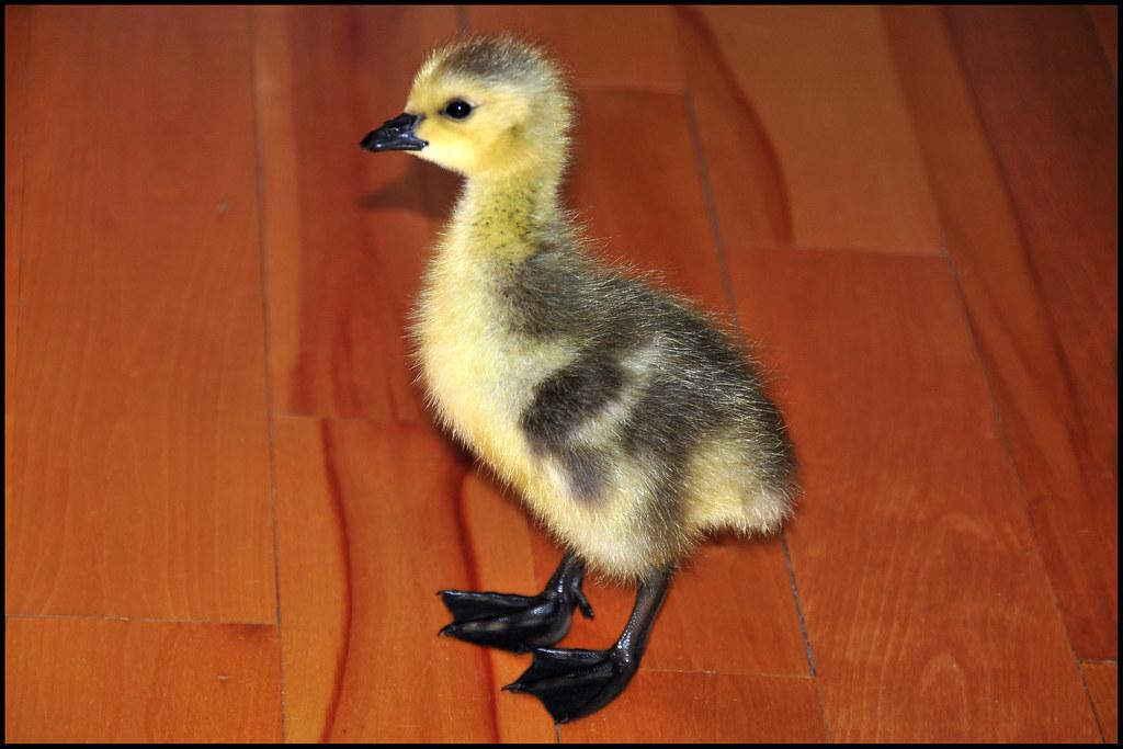 """Quack! ... Well, actually, """"Cheep, Cheep, Cheep""""!"""