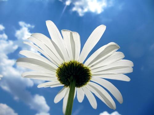 [フリー画像] 花・植物, キク科, ヒナギク・デイジー, 白色の花, 201006021900