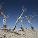 Taklamakan - dead trees