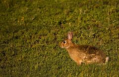 Rabbit (Mark Tenney) Tags: brown rabbit green eye grass tail ears bugs nikond50