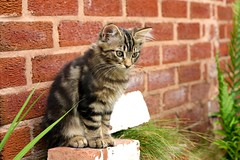 one of a kind (Supermunchie) Tags: pet cats baby cute animal sisters cat mixed feline tabby fluffy kittens keith special breed lovable moggie