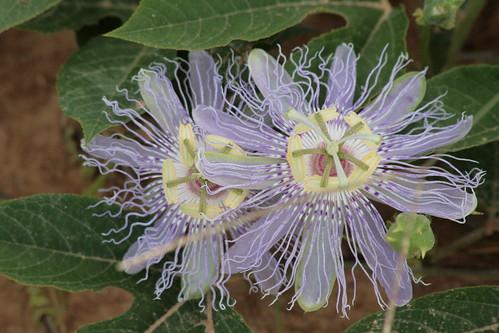 Passiflora incarnata-saat çiçeği