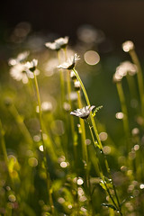 (Konstantin K.) Tags: flower canon bokeh earlymorning dew tau morningdew margeriten leucanthemumvulgare ef50mm eos40d wiesenwucherblume magerwiesenmargerite