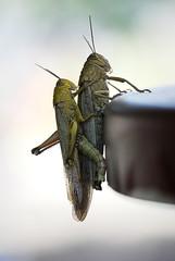 La primavera... es lo que tiene!! #2 [Explore 9-6-10] (E.M.Lpez) Tags: naturaleza insectos macro primavera animal pareja animales bichos junio bicho insecto antenas langosta saltamontes cigarra alcallareal