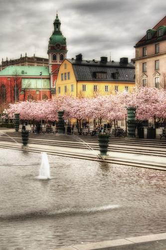 Estocolmo. Cerezos en  Kungsträdgården