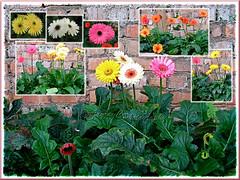 Collage of Gerbera jamesonii (Gerber/Barberton/Transvaal/African Daisy