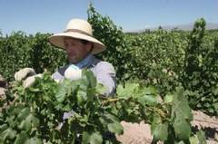La Rioja: La próxima semana, realizarán el lanzamiento de la Vendimia 2011