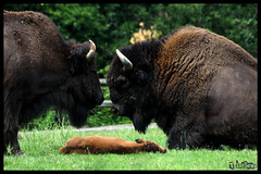 Tte  tte (Vision d'Esprit) Tags: world park family famille baby france art animal animals america photography zoo photo buffalo safari monde bison animaux parc bb ardeche phtos ttette exotique amerique affrique peaugre privatemeeting