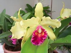 nilgazzola flores orquideas tia maria 25 janeiro (1) (nilgazzola) Tags: de foto ou com tirada maquina nilgazzola