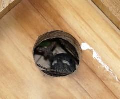 Baby House Wren