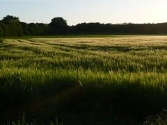 Green Fields (NikWatt) Tags: green farming sunsets panasonic handheld fields settingsun edinburghphotographers panasonictz2