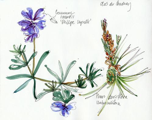 Geranium and pine, Clos du Coudray